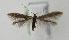(Coleophora squamosella - BC KS 00158)  @14 [ ] CreativeCommons - Attribution Non-Commercial (2010) Matthias Nuss Senckenberg Museum of Zoology, Dresden