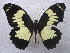 (Papilio euchenor - USNM ENT 00645995)  @14 [ ] Unspecified (default): All Rights Reserved  Unspecified Unspecified