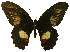 (Papilio ambrax - USNM ENT 00646003)  @14 [ ] Unspecified (default): All Rights Reserved  Unspecified Unspecified