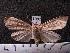 (Arctiinae sp. JAT07 - MMZ1245)  @12 [ ] CreativeCommons - Attribution Non-Commercial (2012) Mauricio M. Zenker UFPR