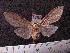 (Arctiinae sp. JAT08 - MMZ1150)  @12 [ ] CreativeCommons - Attribution Non-Commercial (2012) Mauricio M. Zenker UFPR