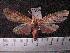 (Arctiinae sp. JAT24 - MMZ1154)  @13 [ ] CreativeCommons - Attribution Non-Commercial (2012) Mauricio M. Zenker UFPR