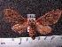 (Arctiinae sp. JAT32 - MMZ1155)  @13 [ ] CreativeCommons - Attribution Non-Commercial (2012) Mauricio M. Zenker UFPR