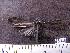 (Arctiinae sp. JAT01 - MMZ1037)  @12 [ ] CreativeCommons - Attribution Non-Commercial (2011) Maurício M. Zenker UFPR