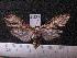 (Arctiinae sp. JAT11 - MMZ1109)  @12 [ ] CreativeCommons - Attribution Non-Commercial (2012) Mauricio M. Zenker UFPR