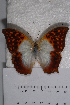 (Charaxes varanes varanes - TvW0132)  @11 [ ] No Rights Reserved  Unspecified Unspecified