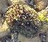 (Onchidium - LQDWL-TIS-20-11-2013-014)  @11 [ ] Copyright (2014) Gujarat Biodiversity Gene Bank, GSBTM, DST, GoG Gujarat Biodiversity Gene Bank, GSBTM, DST, GoG