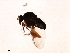 (Simulium tarsale - SIM-CANADA-271)  @12 [ ] CreativeCommons - Attribution Non-Commercial Share-Alike (2009) Unspecified Biodiversity Institute of Ontario