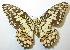 (Papilio demoleus - gvc00018-1L)  @14 [ ] Copyright (2004) Unspecified Unspecified