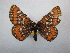  (Euphydryas gillettii - CSU-CPG-LEP-0937)  @13 [ ] Copyright (2009) Unspecified Colorado State University