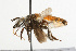  (Megachile lanata - NIBGE IMB-00131)  @11 [ ] CreativeCommons - Attribution Non-Commercial (2009) Muhammad Ashfaq, NIBGE Unspecified