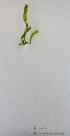 (Ulva prolifera - Parodi_375)  @11 [ ] CreativeCommons - Attribution Non-Commercial (2013) Unspecified Universidad Nacional del Sur