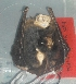 (Myotis cf. albescens - MHNC-M-BAR 084)  @12 [ ] CreativeCommons - Attribution Non-Commercial (2011) Museo de Historia Alcide d'Orbigny Museo de Historia Natural Alcide d'Orbigny