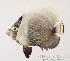 (Chaetodon reticulatus - MBIO50.4)  @14 [ ] Unspecified (default): All Rights Reserved  Unspecified Unspecified