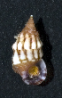 (Cerithium sp - MBIO3784.1)  @11 [ ] Unspecified (default): All Rights Reserved  Unspecified Unspecified