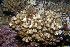(Pocillopora verrucosa - MBIO3595.1)  @11 [ ] Unspecified (default): All Rights Reserved  Unspecified Unspecified