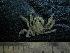 (Collodes - UNMDP MEJ 023)  @11 [ ] CreativeCommons – Attribution Non-Commercial Share-Alike (2014) Unspecified Laboratorio de Zoología de Invertebrados