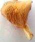 (Pleurotus pulmonarius - BAB 4072)  @11 [ ] Copyright (2014) Gujarat Biodiversity Gene Bank, GSBTM, DST, GoG Gujarat Biodiversity Gene Bank, GSBTM, DST, GoG