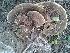 (Ganoderma applanatum - BAB 4725)  @11 [ ] Copyrights (2014) Gujarat Biodiversity Gene Bank, GSBTM, DST, GoG Gujarat Biodiversity Gene Bank, GSBTM, DST, GoG