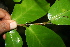  (Coccoloba venosa - BioBot00387)  @11 [ ] CreativeCommons - Attribution Non-Commercial Share-Alike (2010) Daniel H. Janzen Guanacaste Dry Forest Conservation Fund