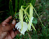  (Brassavola - BioBot00571)  @11 [ ] CreativeCommons - Attribution Non-Commercial Share-Alike (2010) Daniel H. Janzen Guanacaste Dry Forest Conservation Fund