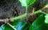  (Coccoloba caracasana - BioBot00672)  @11 [ ] CreativeCommons - Attribution Non-Commercial Share-Alike (2010) Daniel H. Janzen Guanacaste Dry Forest Conservation Fund