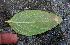 (Alternanthera pubiflora - BioBot00749)  @11 [ ] CreativeCommons - Attribution Non-Commercial Share-Alike (2010) Daniel H. Janzen Guanacaste Dry Forest Conservation Fund
