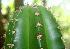 (Stenocereus - BioBot01265)  @11 [ ] CreativeCommons - Attribution Non-Commercial Share-Alike (2010) Daniel H. Janzen Guanacaste Dry Forest Conservation Fund