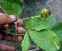 (Esenbeckia - BioBot01290)  @11 [ ] CreativeCommons - Attribution Non-Commercial Share-Alike (2010) Daniel H. Janzen Guanacaste Dry Forest Conservation Fund