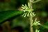 (Solanum megalophyllum - BioBot01549)  @11 [ ] CreativeCommons - Attribution Non-Commercial Share-Alike (2010) Daniel H. Janzen Guanacaste Dry Forest Conservation Fund