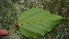 (Bixa urucurana - BioBot02319)  @11 [ ] CreativeCommons - Attribution Non-Commercial Share-Alike (2010) Daniel H. Janzen Guanacaste Dry Forest Conservation Fund