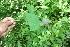(Passiflora bicornis - BioBot06083)  @11 [ ] CreativeCommons - Attribution Non-Commercial Share-Alike (2010) Daniel H. Janzen Guanacaste Dry Forest Conservation Fund