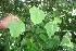 (Passiflora menispermifolia - BioBot06085)  @11 [ ] CreativeCommons - Attribution Non-Commercial Share-Alike (2010) Daniel H. Janzen Guanacaste Dry Forest Conservation Fund