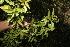 (Viburnum costaricanum - BioBot10170)  @11 [ ] CreativeCommons - Attribution Non-Commercial Share-Alike (2011) Daniel H. Janzen Guanacaste Dry Forest Conservation Fund