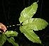 (Billia - BioBot10481)  @13 [ ] CreativeCommons - Attribution Non-Commercial Share-Alike (2011) Daniel H. Janzen Guanacaste Dry Forest Conservation Fund