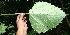 (Urera - BioBot10711)  @11 [ ] CreativeCommons - Attribution Non-Commercial Share-Alike (2010) Daniel H. Janzen Guanacaste Dry Forest Conservation Fund