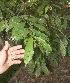 (Hirtella - BioBot11103)  @11 [ ] CreativeCommons - Attribution Non-Commercial Share-Alike (2010) Daniel H. Janzen Guanacaste Dry Forest Conservation Fund