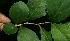 (Xylosma flexuosa - BioBot11641)  @11 [ ] CreativeCommons - Attribution Non-Commercial Share-Alike (2010) Daniel H. Janzen Guanacaste Dry Forest Conservation Fund