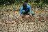 (Poaceae A.guadamuz288 - BioBot11737)  @11 [ ] CreativeCommons - Attribution Non-Commercial Share-Alike (2010) Daniel H. Janzen Guanacaste Dry Forest Conservation Fund