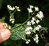  (Ageratina - BioBot12612)  @14 [ ] CreativeCommons - Attribution Non-Commercial Share-Alike (2010) Daniel H. Janzen Guanacaste Dry Forest Conservation Fund
