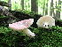 (Russula cf. gracilis - DJM 1523)  @11 [ ] CreativeCommons - Attribution Non-Commercial Share-Alike (2010) Bell Museum of Natural History, University of Minnesota Royal Ontario Museum