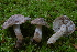  (Tricholoma scalpturatum - MCBS 027)  @11 [ ] CreativeCommons - Attribution Non-Commercial Share-Alike (2010) Unspecified Royal Ontario Museum