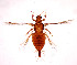 (Panchaetothrips - AP3)  @11 [ ] C (2013) PHCDBS Paul Hebert Center for DNA Barcoding & Biodiversity Studies