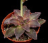 (Echeveria racemosa - JE-5847)  @11 [ ] Unspecified (default): All Rights Reserved  Unspecified Unspecified