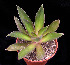 (Echeveria canaliculata - JE-5374)  @11 [ ] Unspecified (default): All Rights Reserved  Unspecified Unspecified