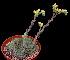 (Echeveria setosa - JE-5524)  @11 [ ] Unspecified (default): All Rights Reserved  Unspecified Unspecified