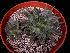 (Echeveria purpusorum - JE-6338)  @11 [ ] Unspecified (default): All Rights Reserved  Unspecified Unspecified