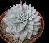 (Echeveria subsessilis - JE-6272)  @11 [ ] Unspecified (default): All Rights Reserved  Unspecified Unspecified