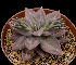 (Echeveria xichuensis - LG Lopez-370)  @11 [ ] Unspecified (default): All Rights Reserved  Unspecified Unspecified