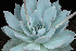(Echeveria cante - JE-5246)  @11 [ ] Unspecified (default): All Rights Reserved  Unspecified Unspecified